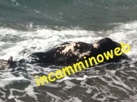 ULTIM'ORA: Laghetti di Marinello, immane disastro ambientale; rifiuti a non finire ed una mucca morta. Guarda le FOTO